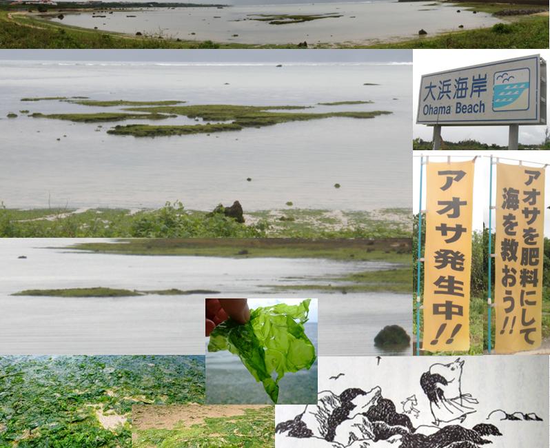 石垣島 大浜海岸 アオサ あおさ 肥料 海 救う ヒルズヤマバレ コンドミニアム