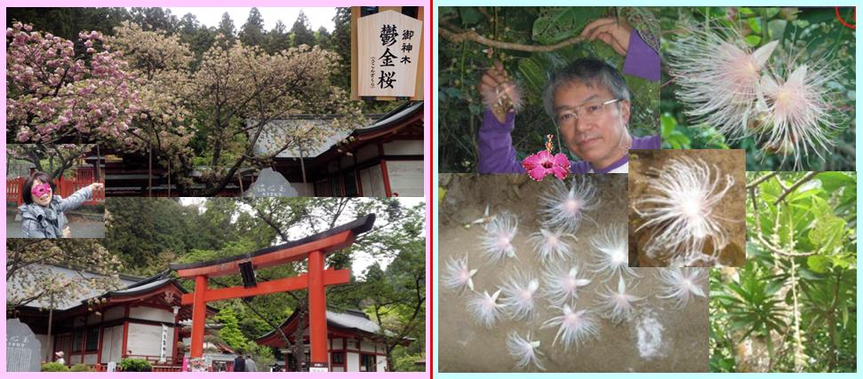 山梨 昇仙峡 金櫻神社 鬱金櫻 遅咲き うこんざくら 石垣 珍しい花 亜熱帯 サガリバナ