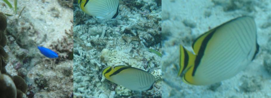 ひるずやまばれ 熱帯魚 サンゴ礁 チョウチョウウオ 瑠璃色の魚