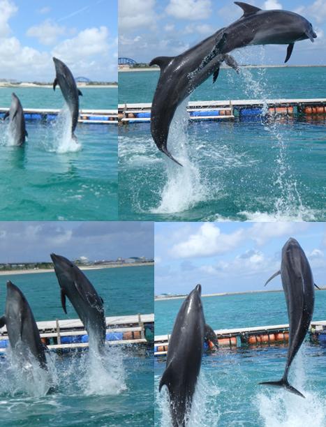 イルカ 2頭 息を合わせた ジャンプ