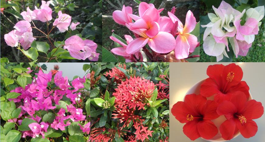 ヒルズヤマバレ 庭 ブーゲンビリア ハイビスカス 花々