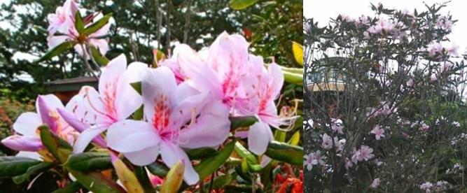 幻の花 セイシカ バンナ岳公園