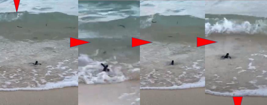 米原 ビーチ 内海 シュノーケル 吉原 海亀 孵化